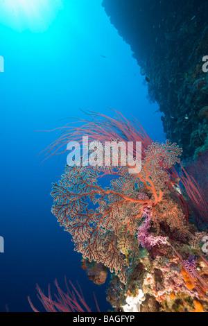 Coral Reef Siaes Wall Micronesia Palau - Stock Photo