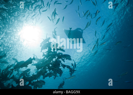 Mantas and Black Snapper Shoal Manta birostris German Channel Micronesia Palau - Stock Photo