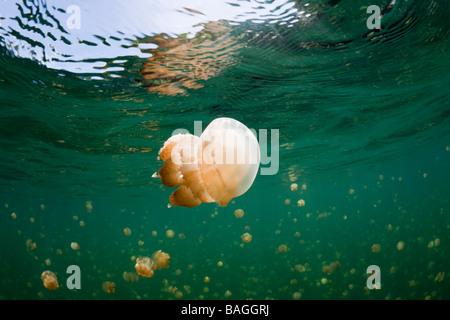 Mastigias Jellyfish in Jellyfish Lake Mastigias papua etpisonii Jellyfish Lake Micronesia Palau - Stock Photo