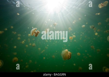 Mastigias Jellyfish in Jellyfish Lake Mastigias papua etpisonii Jellyfish Lake Micronesia Palau - Stock Photo