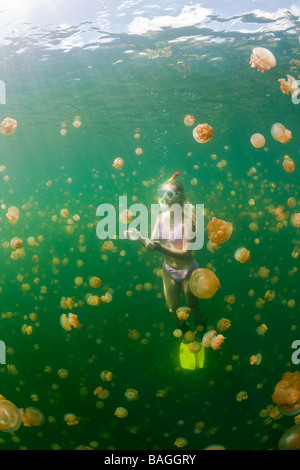 Swimming with harmless Jellyfishes Mastigias papua etpisonii Jellyfish Lake Micronesia Palau - Stock Photo