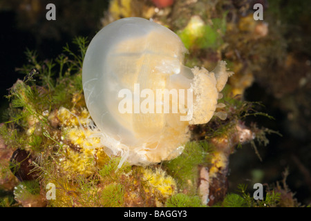 Anemone feed Jellyfish Entacmaea medusivora Mastigias papua etpisonii Jellyfish Lake Micronesia Palau - Stock Photo