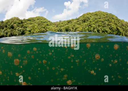 Jellyfishes in Marine Lake Mastigias papua etpisonii Jellyfish Lake Micronesia Palau - Stock Photo