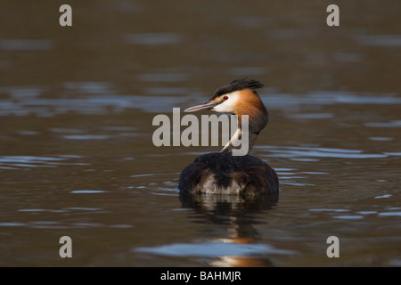 Great Crested Grebe on river, Norfolk. - Stock Photo