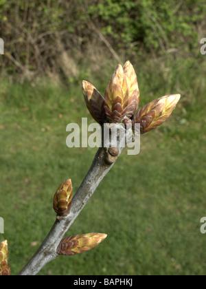Horse Chestnut Aesculus hippocastanum buds Midlands spring - Stock Photo