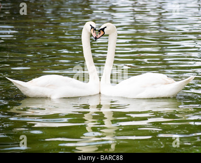 Two White Swans Cygnus olor head to head forming a heart shape - Stock Photo
