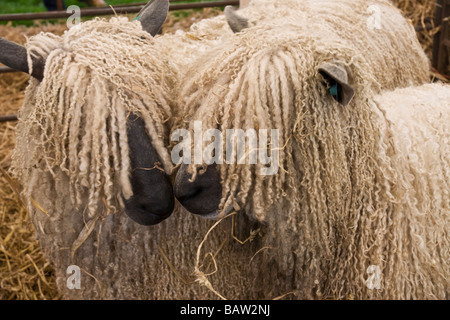 Two Wensleydale sheep. A rare breed of sheep from the Yorkshire Dales. - Stock Photo