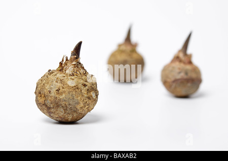 Voodoo Lily bulbs - Stock Photo