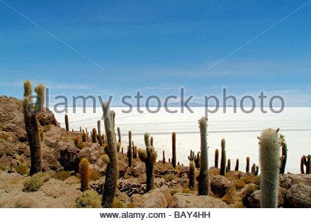 Cactuses, Cacti on Isla de los Pescadores, salt lake Salar de Uyuni, Bolivia, South America - Stock Photo
