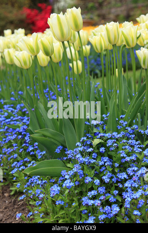 A colourful display of tulips and forget-me-nots flowering in a spring garden border - Stock Photo