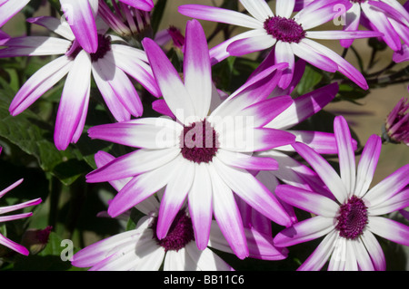Senetti Pericallis hybrida Magenta bicolour - Stock Photo