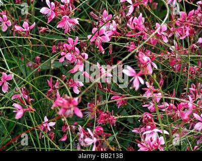 Gaura lindheimeri 'Siskiyou Pink' - Stock Photo