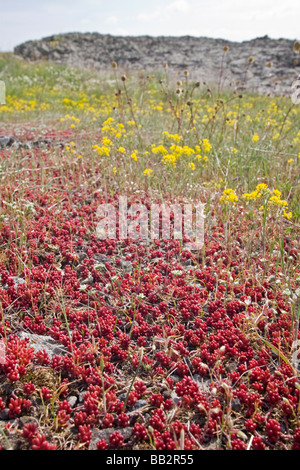 The White Stonecrop (Sedum album) on the Coiron plateau, in Ardeche (France). Orpin blanc sur le plateau du Coiron, - Stock Photo