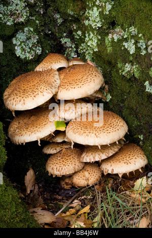 Parasol Mushroom Lepiota procera clustered at the base of a birch tree in woodland near Luss Loch Lomond National - Stock Photo