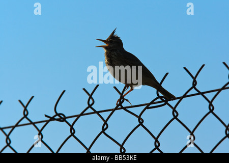 A silhouetted Crested Lark (Galerida cristata) singing on a fence, Lesvos, Greece - Stock Photo