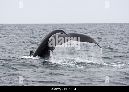 Whale tail, aka flukes, of a Humpback whale drip water as it leaves the surface in the North Atlantic near Stellwagen - Stock Photo