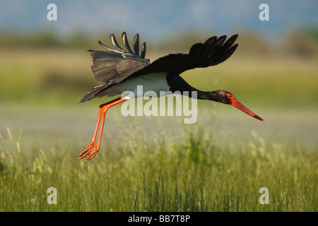 Black Stork (Ciconia nigra) taking flight, Lesvos, Greece - Stock Photo