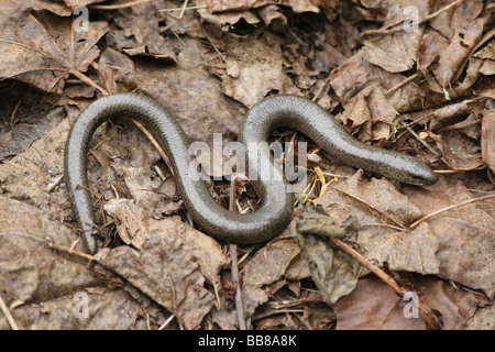 Male Slow-worm Anguis fragilis On Dried Leaves Taken in Cumbria, UK - Stock Photo