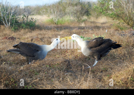 A pair of Waved Albatross birds on nest during courtship display and ritual.  They are clicking beaks here. Espanola,Galapagos. - Stock Photo