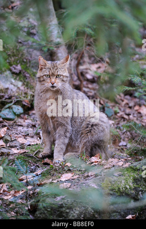 Young Wildcat (Felis silvestris) in its territory - Stock Photo