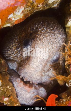 Wolf eel Anarrhichthys ocellatus Southeast Alaska - Stock Photo