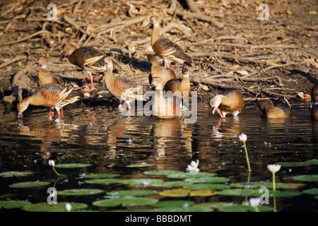 Plumed whistling ducks (Dendrocygna eytoni).  Yellow Water Wetlands, Kakadu National Park, Northern Territory, AUSTRALIA - Stock Photo