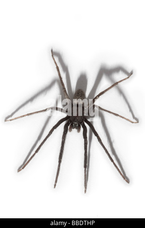A House spider (Tegenaria gigantea), photographed in the studio. Tégénaire (Tegenaria gigantea), photographiée en - Stock Photo