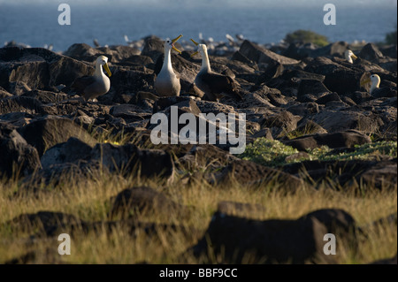 Waved Albatross Diomedea irrorata Courtship Display Punta Suarez Espanola Hood Galapagos Ecuador Pacific Ocean South - Stock Photo