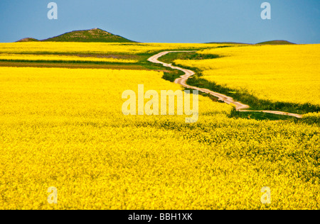 Romanian rapeseed field with winding road in spring in Dobrogea region near Black Sea - Stock Photo