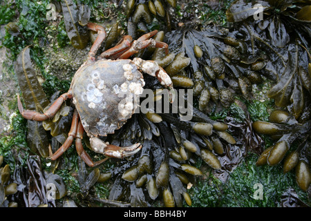 Common Shore Crab Carcinus maenas on Spiral Wrack Fucus spiralis Covered Rock Taken at New Brighton, The Wirral, - Stock Photo