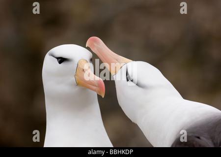 Black browed Albatross Thalassarche melanophrys pair in courtship display New Island Falklands November - Stock Photo