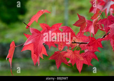 American Sweetgum, Redgum  ( Liquidambar styraciflua ) leaves in autumn. - Stock Photo