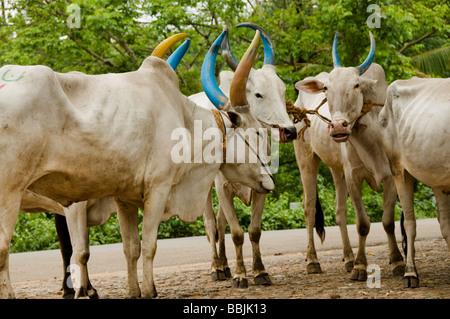domestic cattle (Bos primigenius f. taurus), ox - Stock Photo