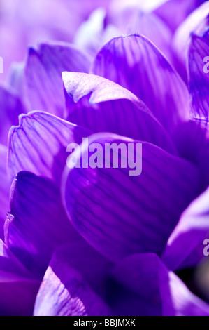 Purple petals - Stock Photo