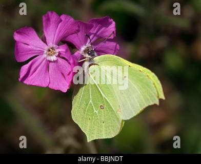 Female Brimstone Butterfly (gonepteryx rhamni) on Erysimum Flower, UK - Stock Photo