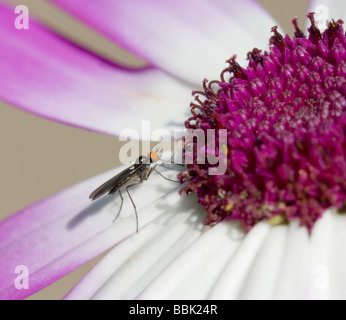 Insect on Senetti Pericallis hybrida Magenta bicolour Surrey UK - Stock Photo