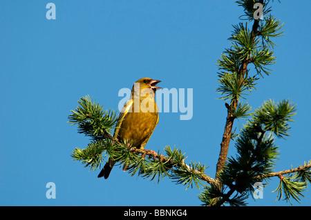 European greenfinch (Carduelis chloris) - Stock Photo