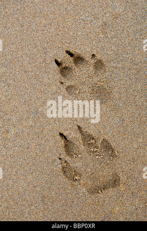 Dog paw prints in sand at Dornoch beach, east coast, Sutherland Scotland - Stock Photo