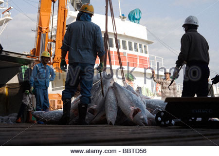 deep frozen Tuna being unloaded from the refrigerated ship - Stock Photo