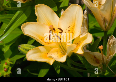 Asiflorum Lily Lilium LA Hybrid - Stock Photo
