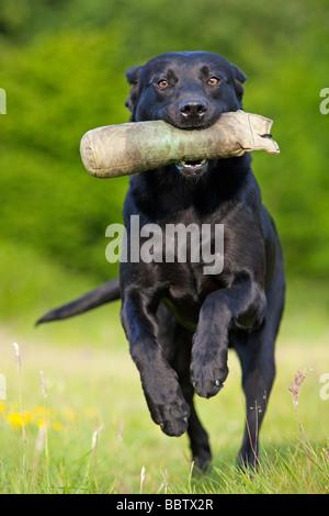 black labrador retriever working dog - Stock Photo
