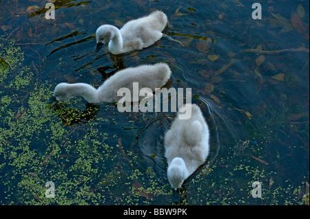 3 mute swan Cygnus olor cygnets feeding on duckweed on Lake at Kew at first light - Stock Photo