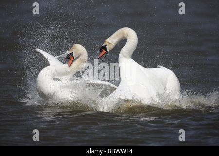 Mute swan Cygnus olor pair fighting Abbotsbury Dorset spring - Stock Photo