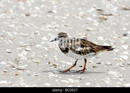 Ruddy Turnstone walking on Sanibel Island  Florida beach - Stock Photo