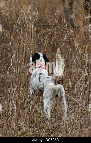 English Setter on Point During Bobwhite Quail Hunt in the Piney Woods of Georgia - Stock Photo