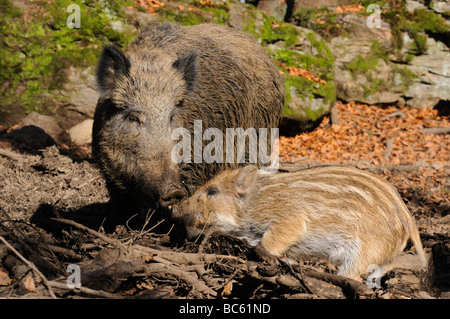 Wild Boar (Sus scrofa) standing with its piglet in forest, Bavarian Forest National Park, Bavaria, Germany - Stock Photo