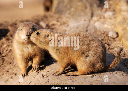Close-up of two Black-tailed Prairie Dogs (Cynomys ludovicianus) on landscape - Stock Photo