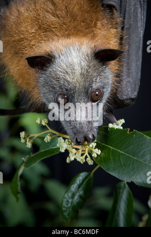 Grey headed flying fox - Stock Photo