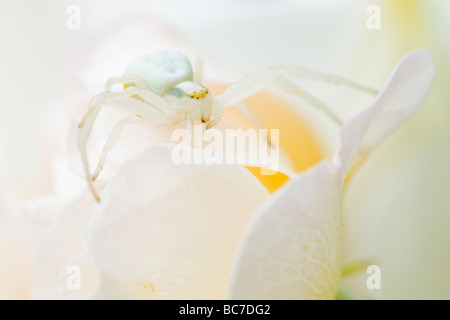 Crab Spider waiting for prey on flower petals - Stock Photo