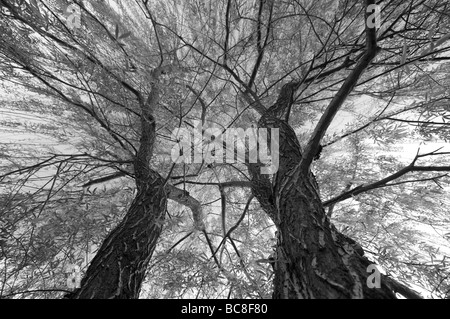 Abstract of Pair of Weeping Willow Trees - Stock Photo